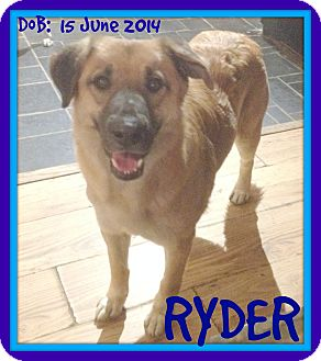 German Shepherd Dog/Golden Retriever Mix Dog for adoption in White River Junction, Vermont - RYDER