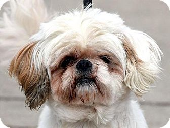 Shih Tzu Mix Dog for adoption in New Haven, Connecticut - NIRKIS
