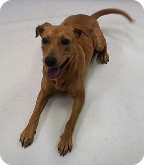 Labrador Retriever/Pit Bull Terrier Mix Puppy for adoption in Savannah, Georgia - Miss Martian
