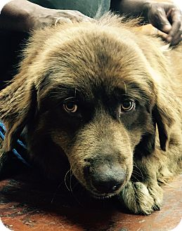 Flat-Coated Retriever/Retriever (Unknown Type) Mix Dog for adoption in Billerica, Massachusetts - Louie
