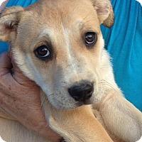 Adopt A Pet :: DRUCILLA - Coudersport, PA