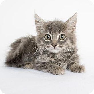 Domestic Longhair Kitten for adoption in Chico, California - Simon