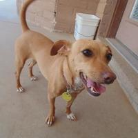 Adopt A Pet :: Lexi - Las Cruces, NM