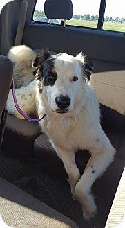 Australian Shepherd/Great Pyrenees Mix Dog for adoption in Folsom, Louisiana - Bear