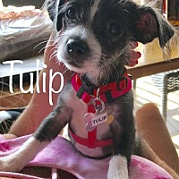 Adopt A Pet :: A Puppy Tulip 'Mama Summer' - READY FOR ADOPTION - Los Angeles, CA