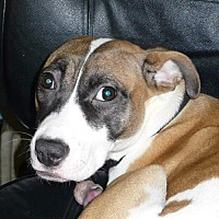 Adopt A Pet :: Journey - Foristell, MO