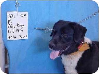 Labrador Retriever Mix Dog for adoption in Zanesville, Ohio - Mickey/Rescued!
