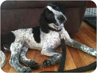 Bluetick Coonhound Mix Puppy for adoption in Worcester, Massachusetts - Mort