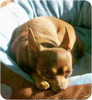 Chihuahua Dog for adoption in Carrollton, Georgia - Smokey