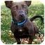 Photo 1 - Corgi/Jack Russell Terrier Mix Dog for adoption in Latrobe, Pennsylvania - Mercedes