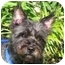 Photo 1 - Cairn Terrier Mix Dog for adoption in Eatontown, New Jersey - Jane