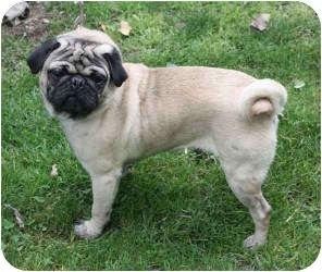 Pug Dog for adoption in Kokomo, Indiana - BarkLeY