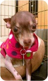 Chihuahua Mix Dog for adoption in Brownsville, Texas - Jade