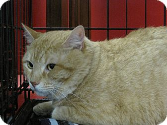 Domestic Shorthair Cat for adoption in Houston, Texas - Frederick