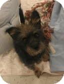 Schnauzer (Standard)/Yorkie, Yorkshire Terrier Mix Dog for adoption in Phoenix, Arizona - Noodles the Schnorkie