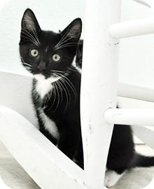 Domestic Shorthair Kitten for adoption in Bradenton, Florida - Skippy