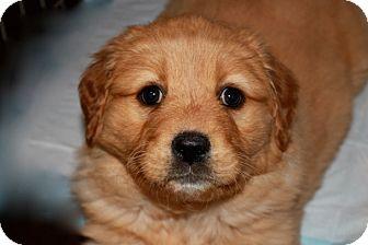 Golden Retriever/Great Pyrenees Mix Puppy for adoption in Marietta, Georgia - Truffle