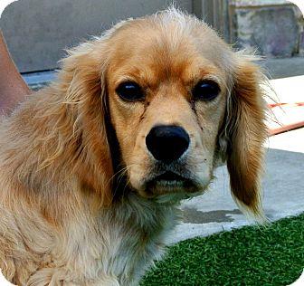 Cocker Spaniel Dog for adoption in white settlment, Texas - Oliver