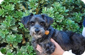 Schnauzer (Miniature) Dog for adoption in Creston, California - Irma