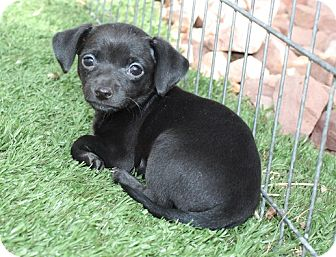 Dachshund/Chihuahua Mix Puppy for adoption in Henderson, Nevada - Kit