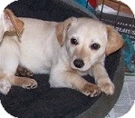 Chihuahua Mix Puppy for adoption in Concord, North Carolina - Austin