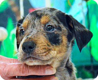 Catahoula Leopard Dog/Labrador Retriever Mix Puppy for adoption in Searcy, Arkansas - Drake