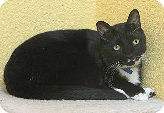 Domestic Shorthair Cat for adoption in Benbrook, Texas - Fel