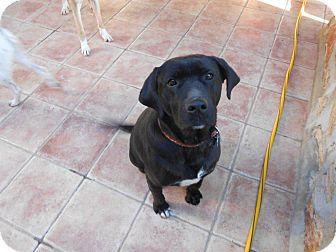 Labrador Retriever Mix Puppy for adoption in Toronto, Ontario - Mano