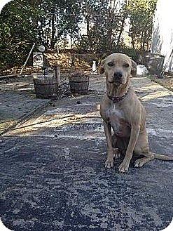Labrador Retriever/Shepherd (Unknown Type) Mix Dog for adoption in HARRISBURG, Pennsylvania - DOBBIE