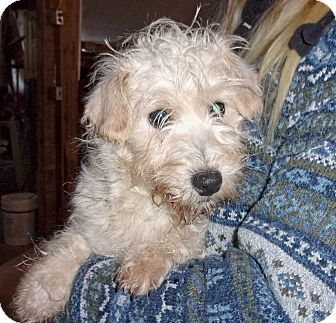 Westie, West Highland White Terrier/Poodle (Miniature) Mix Puppy for adoption in Liberty Center, Ohio - Wilbur