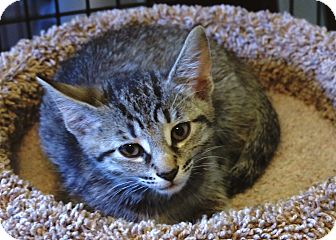 Domestic Shorthair Kitten for adoption in Victor, New York - Pearl