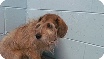 Schnauzer (Standard)/Poodle (Toy or Tea Cup) Mix Dog for adoption in Muskegon, Michigan - Sami