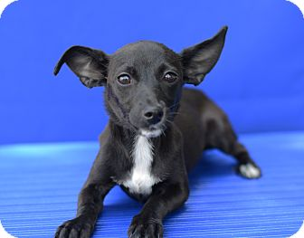 Terrier (Unknown Type, Small)/Chihuahua Mix Puppy for adoption in LAFAYETTE, Louisiana - GIZMO