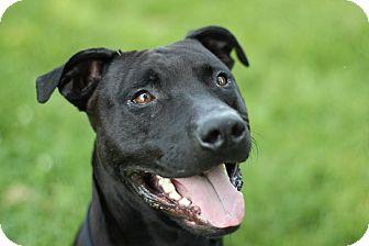Labrador Retriever/American Pit Bull Terrier Mix Dog for adoption in Midland, Michigan - McCastor