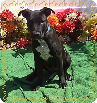 Labrador Retriever Mix Puppy for adoption in Marietta, Georgia - ZIGGY