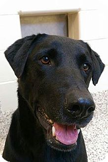 Labrador Retriever Mix Dog for adoption in Aiken, South Carolina - Lilian