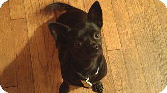 Border Terrier/Chihuahua Mix Dog for adoption in San Antonio, Texas - Amaya