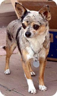 Chihuahua Mix Dog for adoption in Mesa, Arizona - Zip