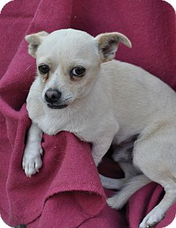 Chihuahua Dog for adoption in Palmdale, California - Billy
