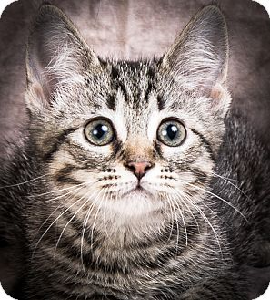 Domestic Shorthair Kitten for adoption in Anna, Illinois - JETTA