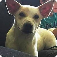 Adopt A Pet :: Dakota - San Antonio, TX