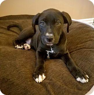 Labrador Retriever/Boxer Mix Puppy for adoption in Chicago, Illinois - Eric*ADOPTED!*