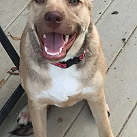 Labrador Retriever Mix Puppy for adoption in Colmar, Pennsylvania - Millie