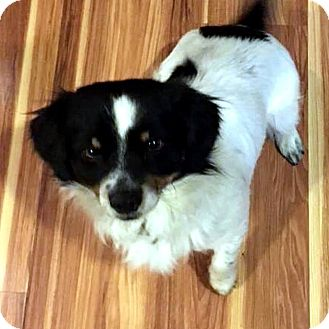 Spaniel (Unknown Type) Mix Dog for adoption in Tijeras, New Mexico - Archie