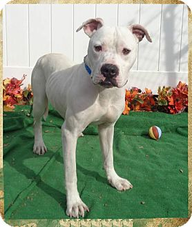 American Bulldog Mix Dog for adoption in Marietta, Georgia - CHONG see also CHEECH