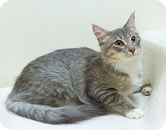 Domestic Longhair Cat for adoption in Northbridge, Massachusetts - Paisley