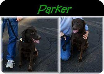 Labrador Retriever Dog for adoption in Deer Park, New York - Parker