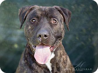 Mastiff/Pit Bull Terrier Mix Dog for adoption in Vista, California - Samson