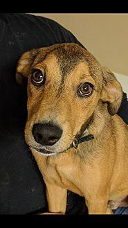 Basenji/Sheltie, Shetland Sheepdog Mix Puppy for adoption in HAGGERSTOWN, Maryland - Kris