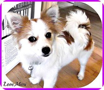 pomeranian puppies for sale seattle mimi adopted puppy seattle wa pomeranian maltese mix 7658